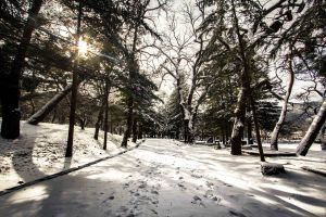 Trees Lining Snow